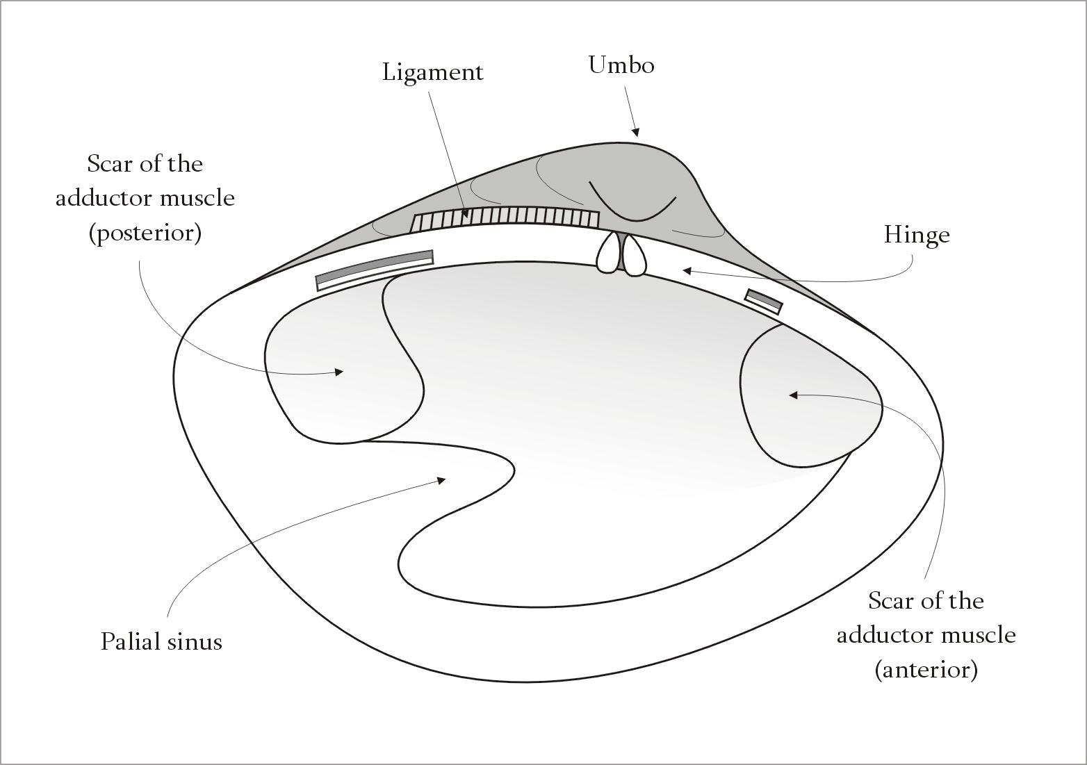 clam dissection diagram convergent boundary bivalve définition c 39est quoi