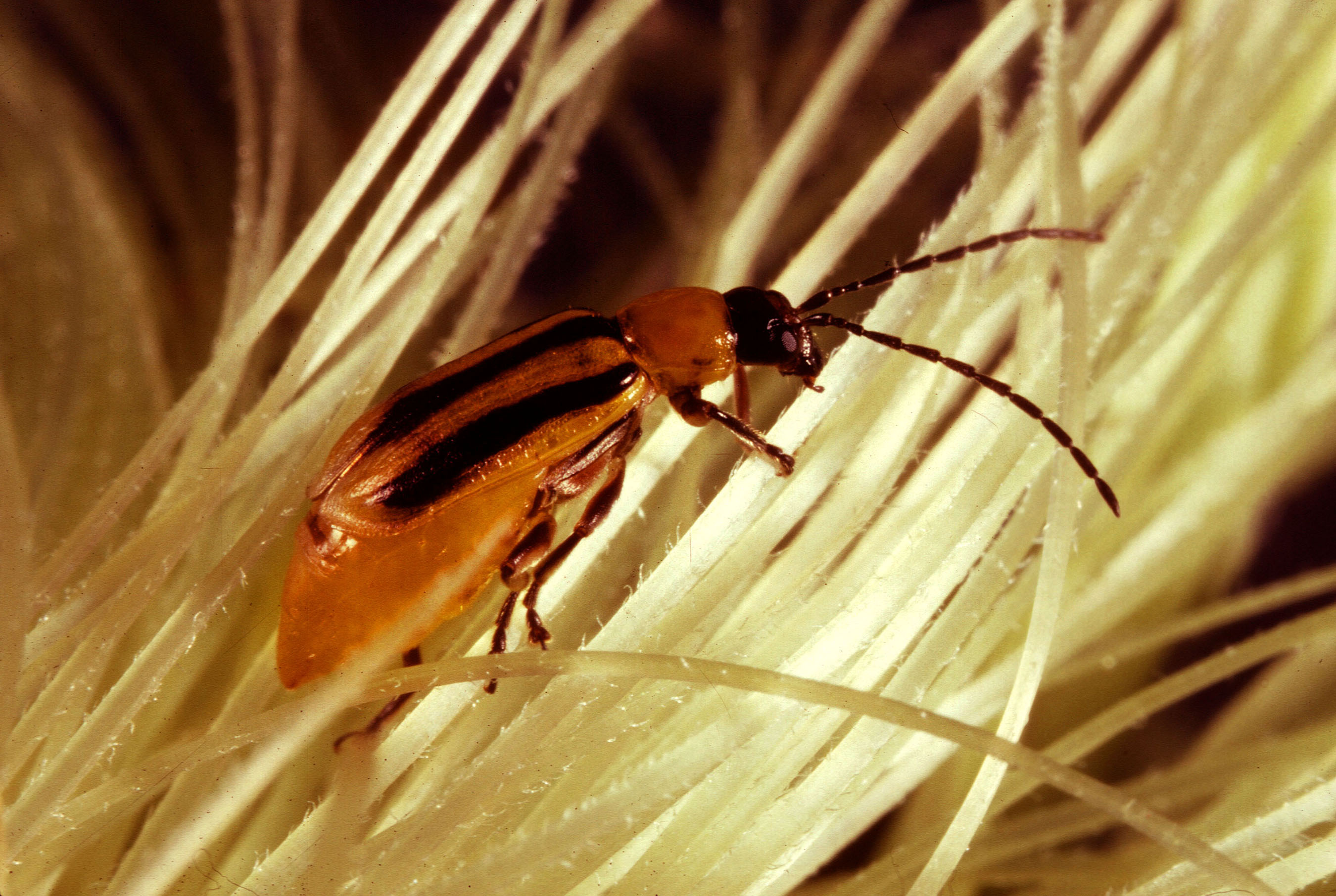 File:Western corn rootworm.jpg