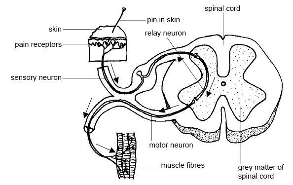 horse respiratory system diagram johnson outboard ignition wiring neurona sensorial - wikipedia, la enciclopedia libre