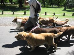 volunteer dog walker