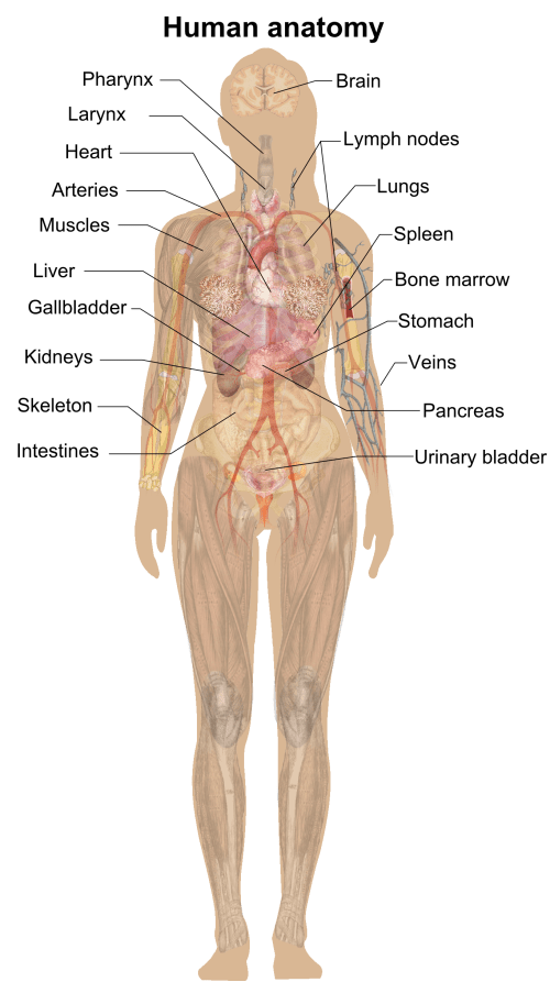 small resolution of woman of upper torso diagram wiring diagram details file female shadow anatomy png wikimedia commons woman