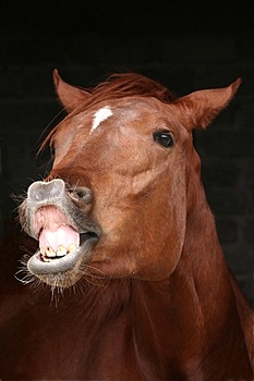 Horse With A Dog Mouth : horse, mouth, Flehmen, Response, Wikipedia