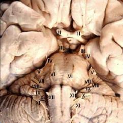 Facial Trigeminal Nerve Diagram Mopar Performance Electronic Ignition Wiring دستگاه عصبی - ویکیپدیا، دانشنامهٔ آزاد