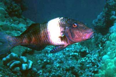 Manybar goatfish - Wikipedia
