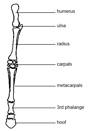 sheep skeleton diagram emg 81 85 pickup wiring anatomy and physiology of animals the wikibooks open forelimb a horse jpg
