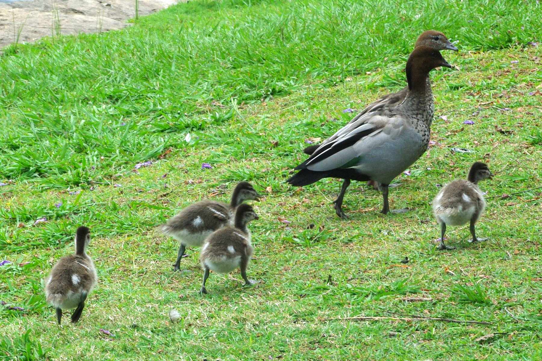 A family of Australian Wood Ducks in Australia.