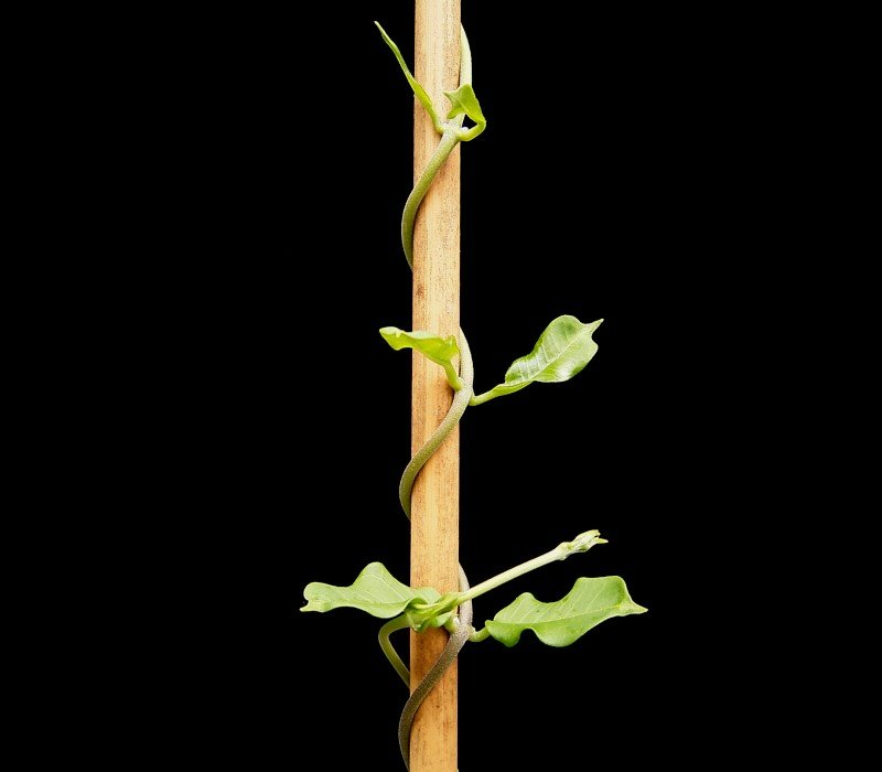 Climbing Plant  Simple English Wikipedia, The Free