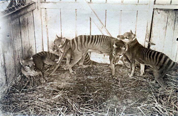 Thylacines at the Beaumaris Zoo in Hobart, 1910.