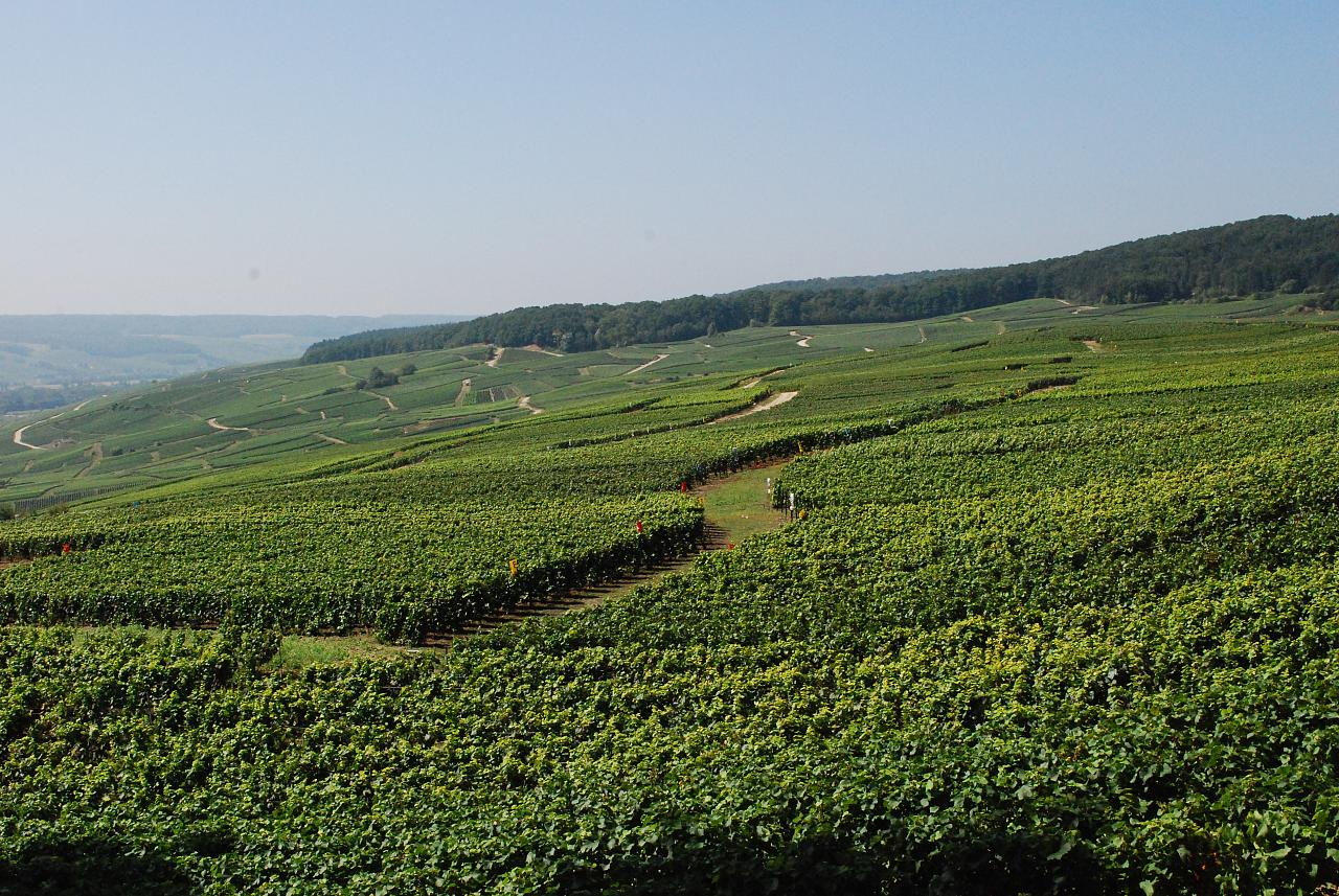 Vineyards in the French wine region of Champag...