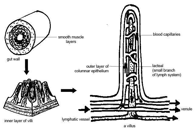 diagram of villus