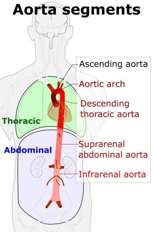 small resolution of abdominal aorta