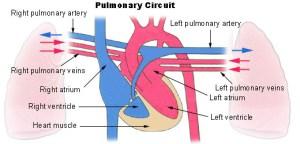 Pulmonary circulation  Wikipedia