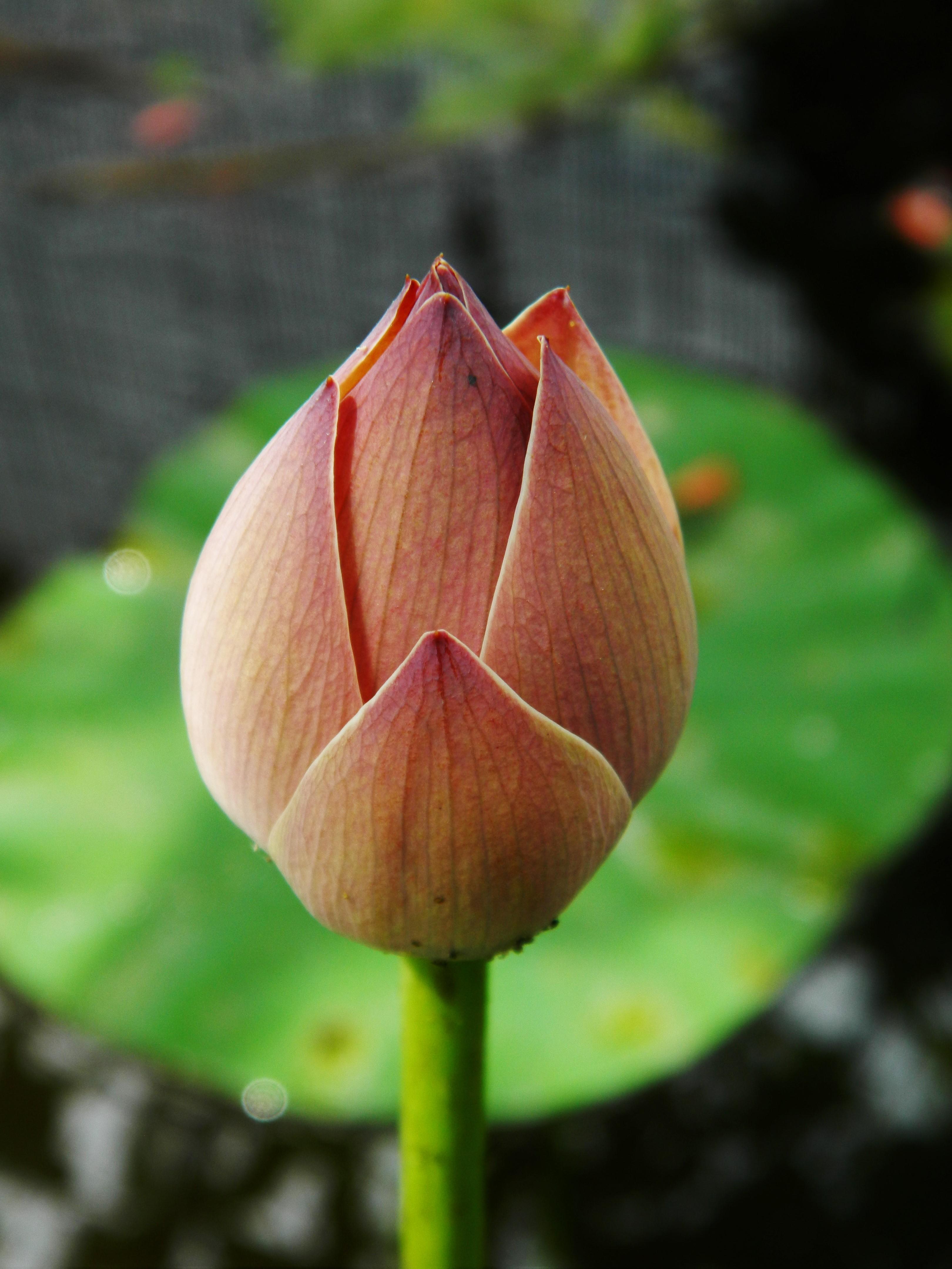 lotus in water plant diagram waterfall formation file nelumbo nucifera bud jpg wikimedia commons