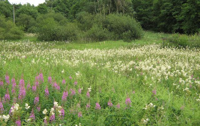 File:Field of Meadowsweet - geograph.org.uk - 1404004.jpg