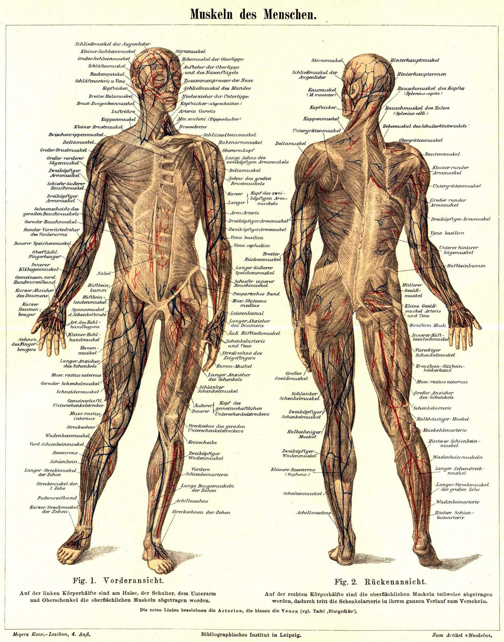 Otot Manusia : manusia, Sistem, Wikipedia, Bahasa, Indonesia,, Ensiklopedia, Bebas