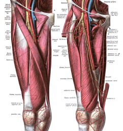 split femur diagram [ 1190 x 1526 Pixel ]
