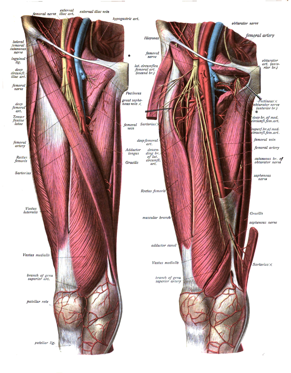 medium resolution of leg artery diagram of the right