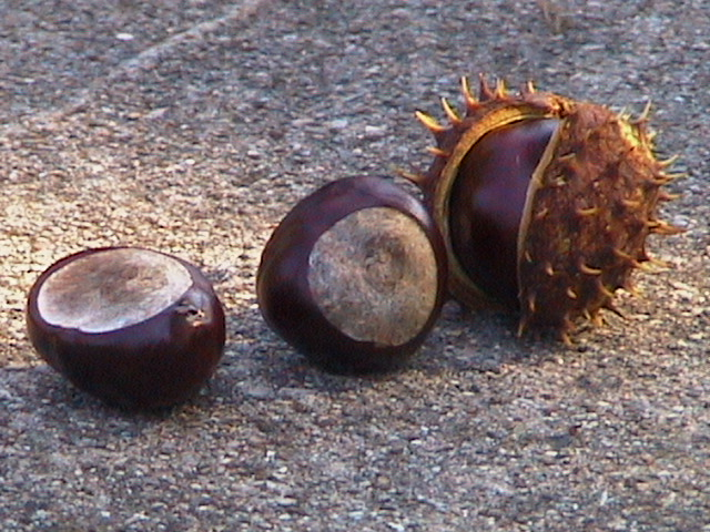 Horse Chestnut New World Witchery The Search For American