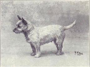 Cairn Terrier from 1915
