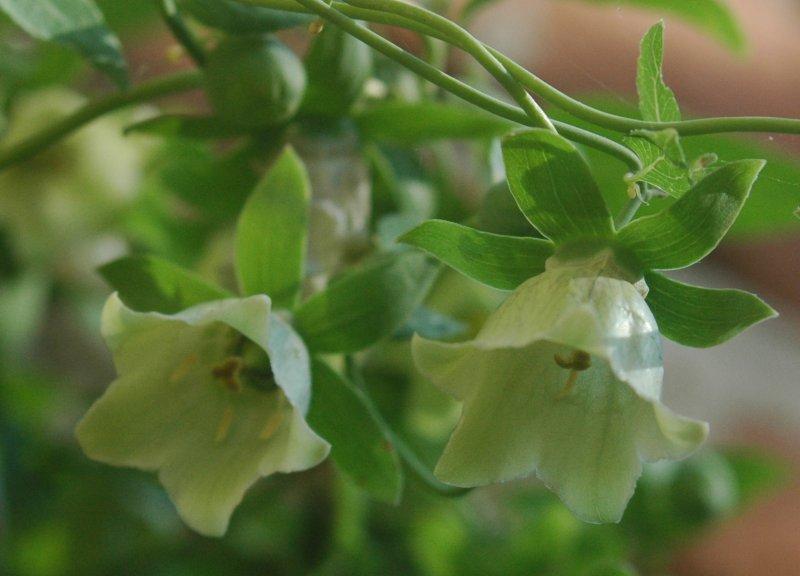 File:Codonopsis pilosula flowers.jpg