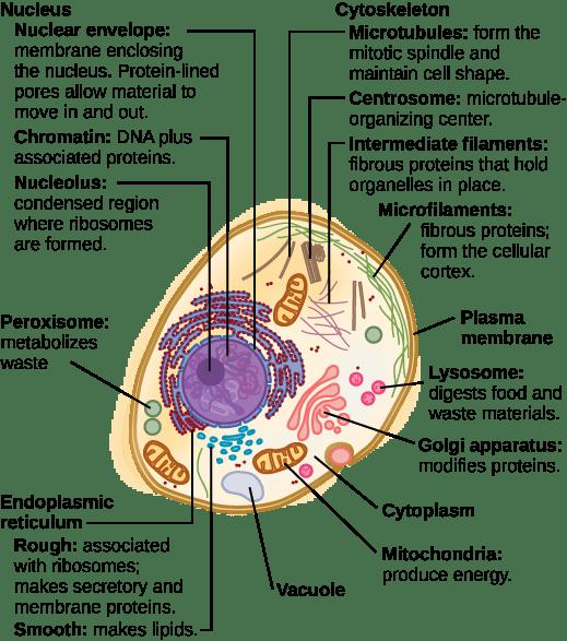 Simple Plant Cell Diagram Lysosome