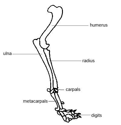 skeleton diagram labeled vauxhall vectra b wiring anatomy and physiology of animals the wikibooks open forelimb dog corrected jpg