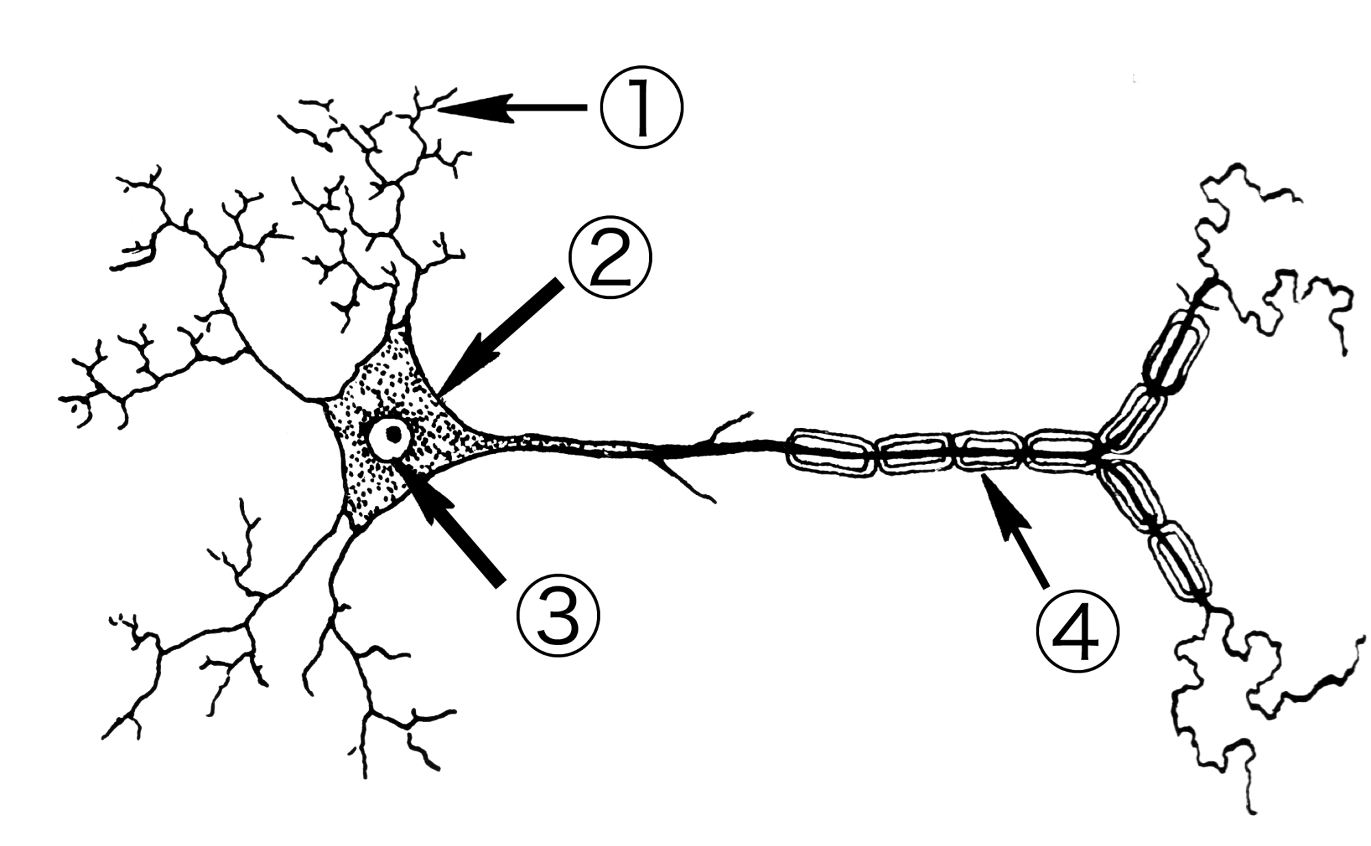 hight resolution of file neuron psf png