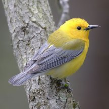 Image result for songbirds of new england