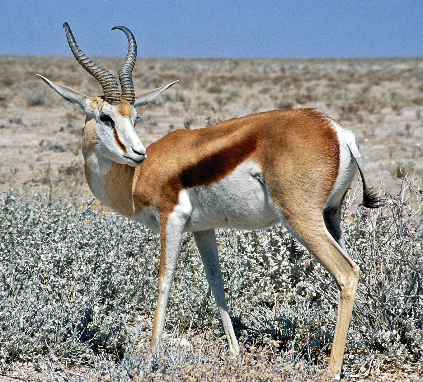 https://i0.wp.com/upload.wikimedia.org/wikipedia/commons/5/56/Springbok_Namibia.jpg