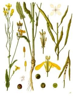File:Brassica napus - Köhler–s Medizinal-Pflanzen-169.jpg