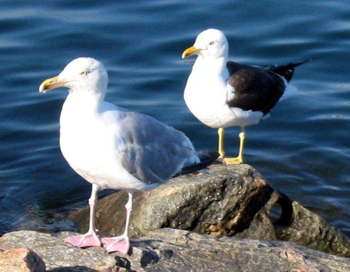 Herring Gull (L) and Lesser Black-backed Gull (R)
