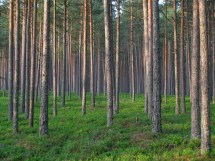 File Pine Forest In - Wikimedia Commons