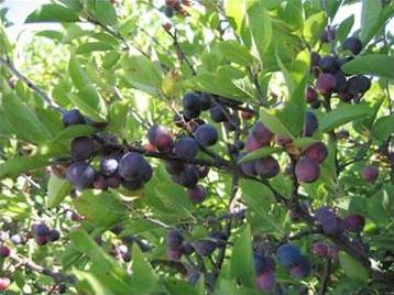 Prunus maritima  Wikipedia