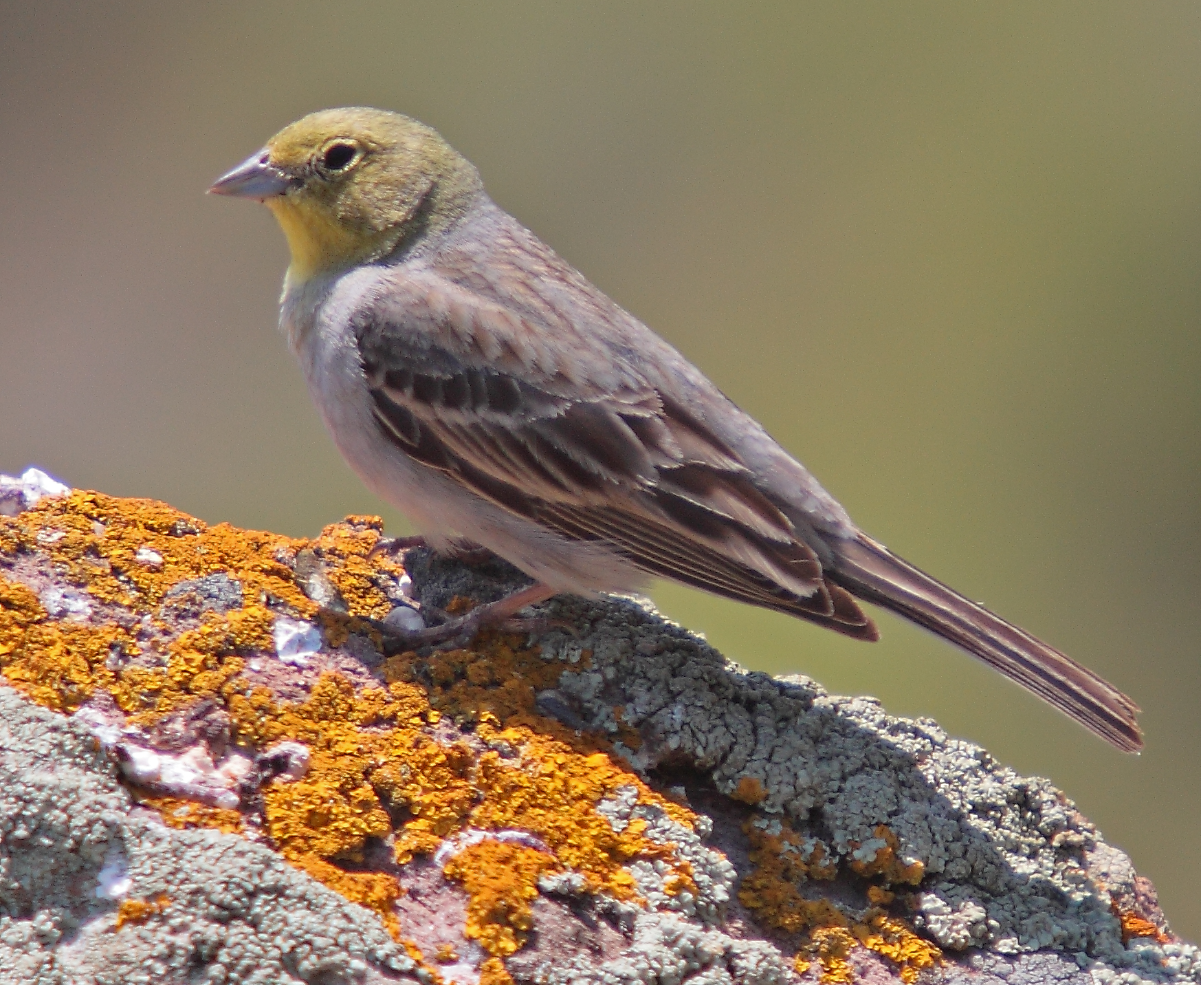 Cinereous bunting at Petrified Forest in Lesbos