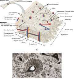 the periosteum consists of an inner osteogenic layer and an outer fibrous layer [ 1413 x 1664 Pixel ]