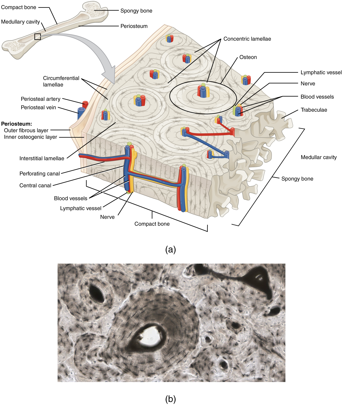 hight resolution of the periosteum consists of an inner osteogenic layer and an outer fibrous layer