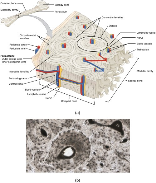 small resolution of the periosteum consists of an inner osteogenic layer and an outer fibrous layer