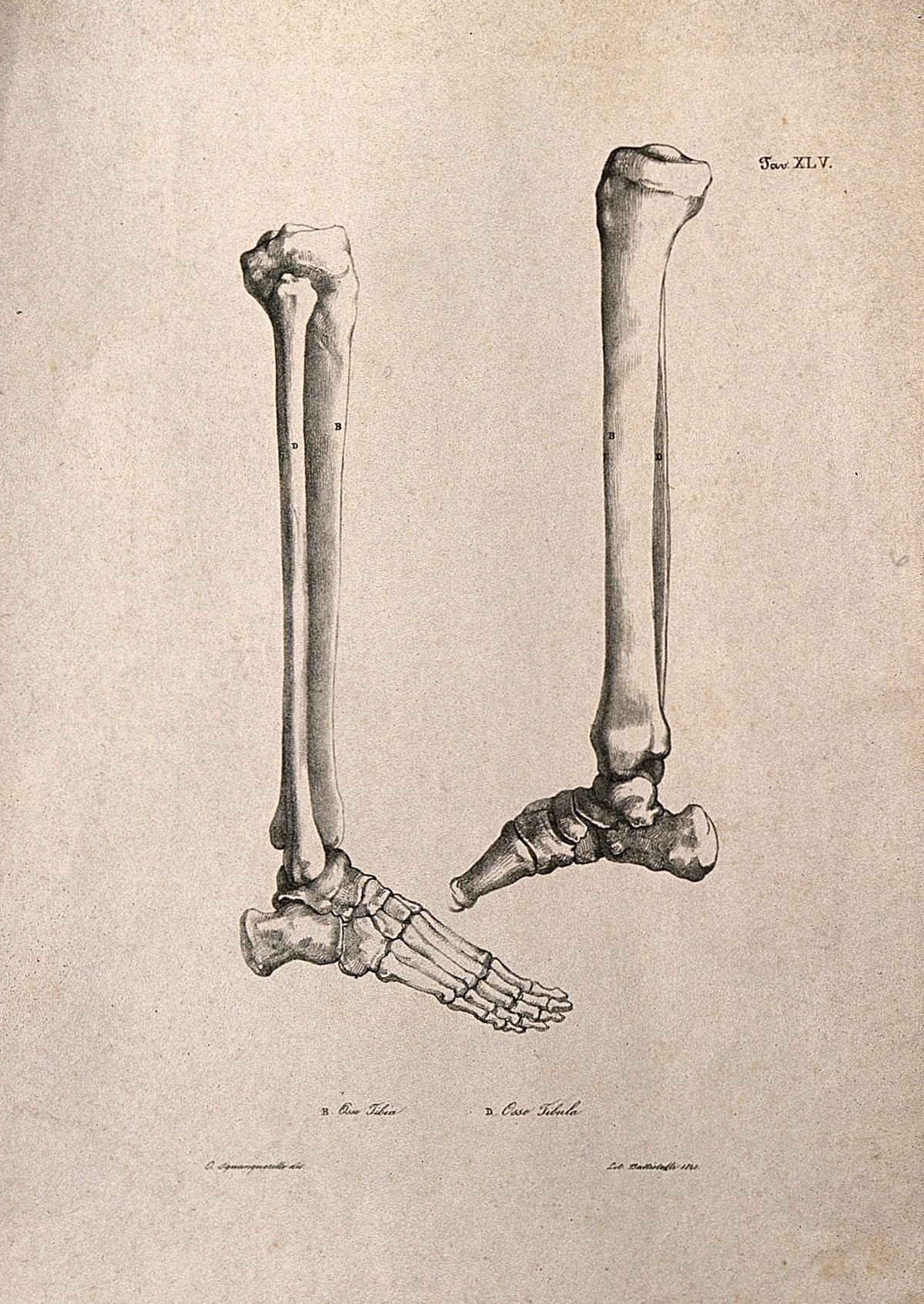 File Bones Of The Foot And Lower Leg Two Figures