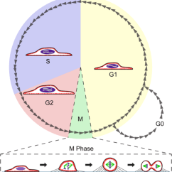 Human Life Cycle Stages Diagram 2002 Honda Accord Wiring Stereo Mitosis - Wikiwand