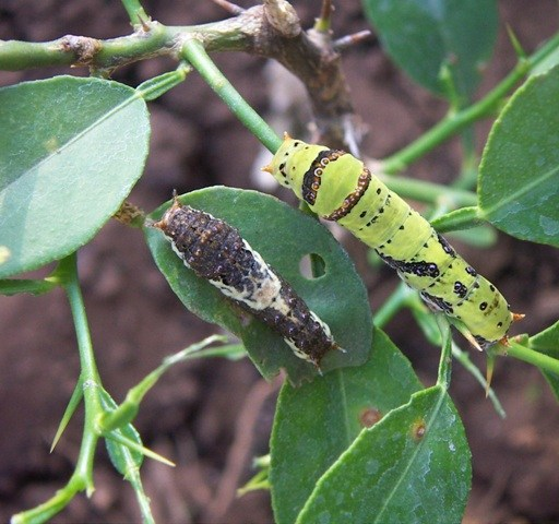 Common mormon (Papilio Polyetes) catapillars