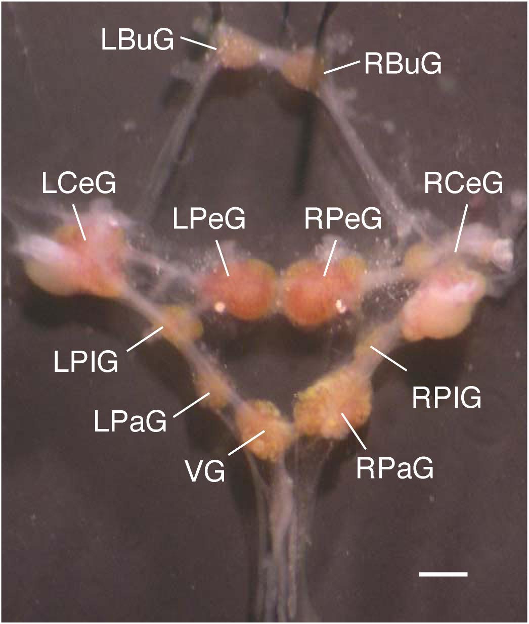Nervous system of gastropods  Wikipedia