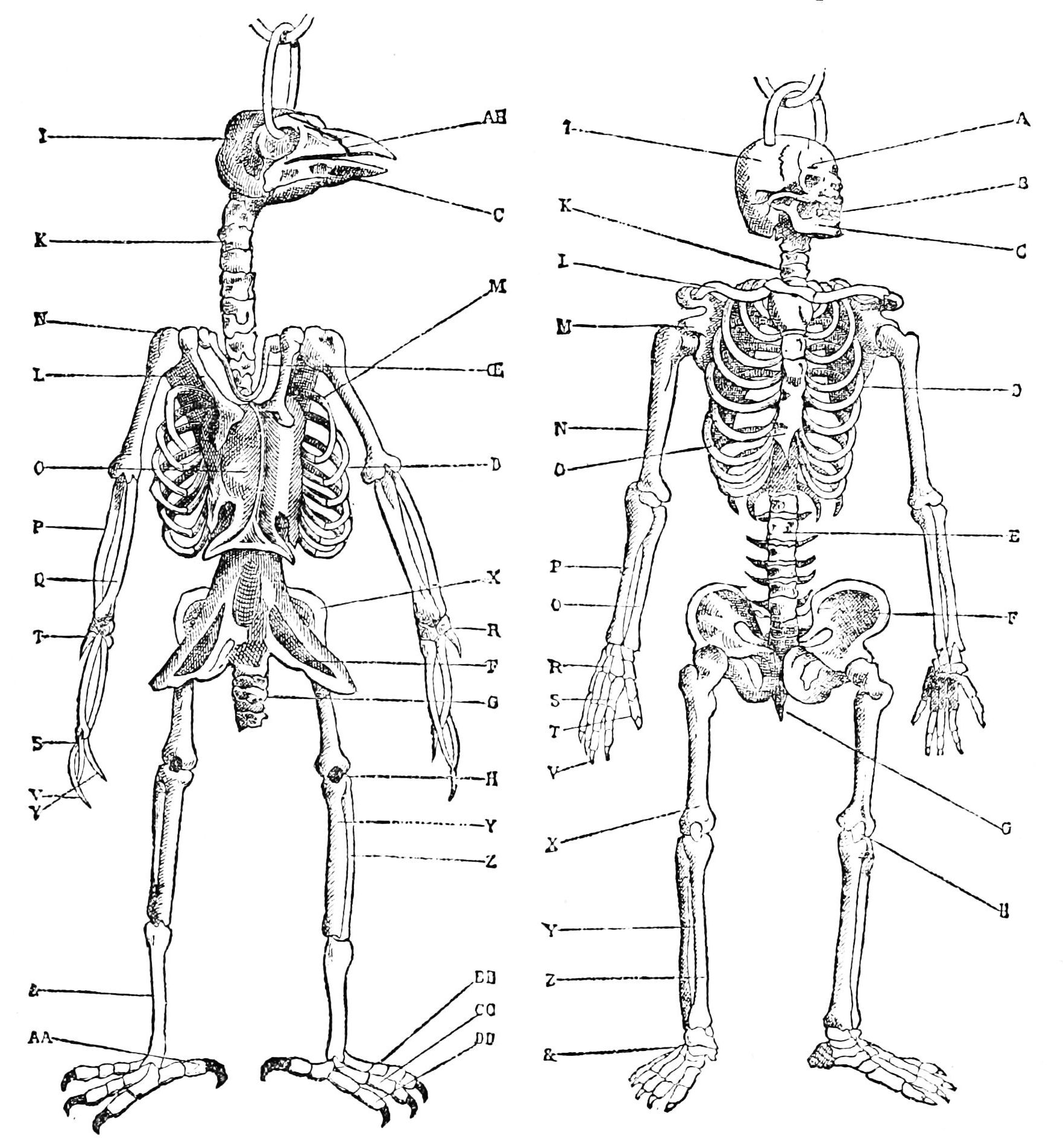 Avian A A Human Skeleton Worksheet And Comparing