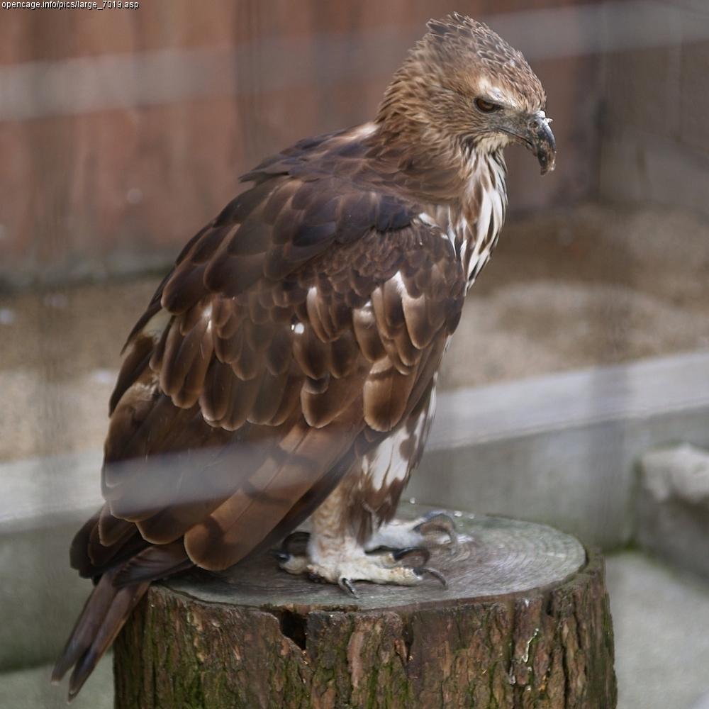 Burung pemangsa  Wikipedia bahasa Indonesia ensiklopedia
