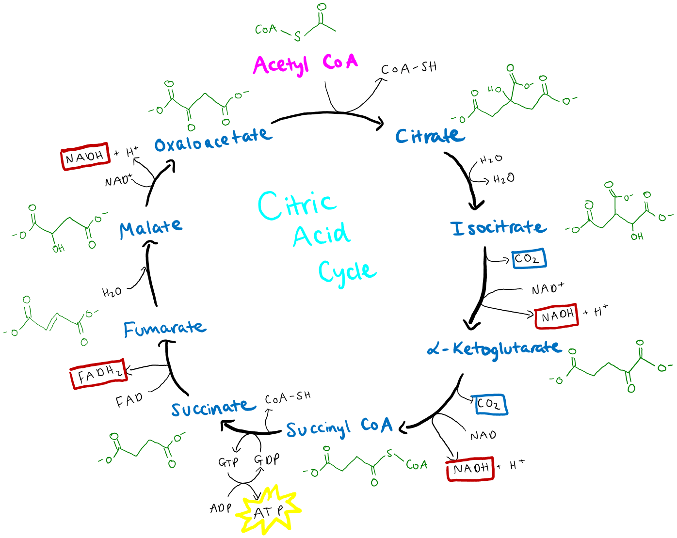 explain krebs cycle with diagram capacitor run motor wiring
