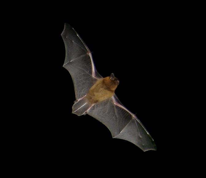 Pipistrellus pipistrellus in flight. Picture t...