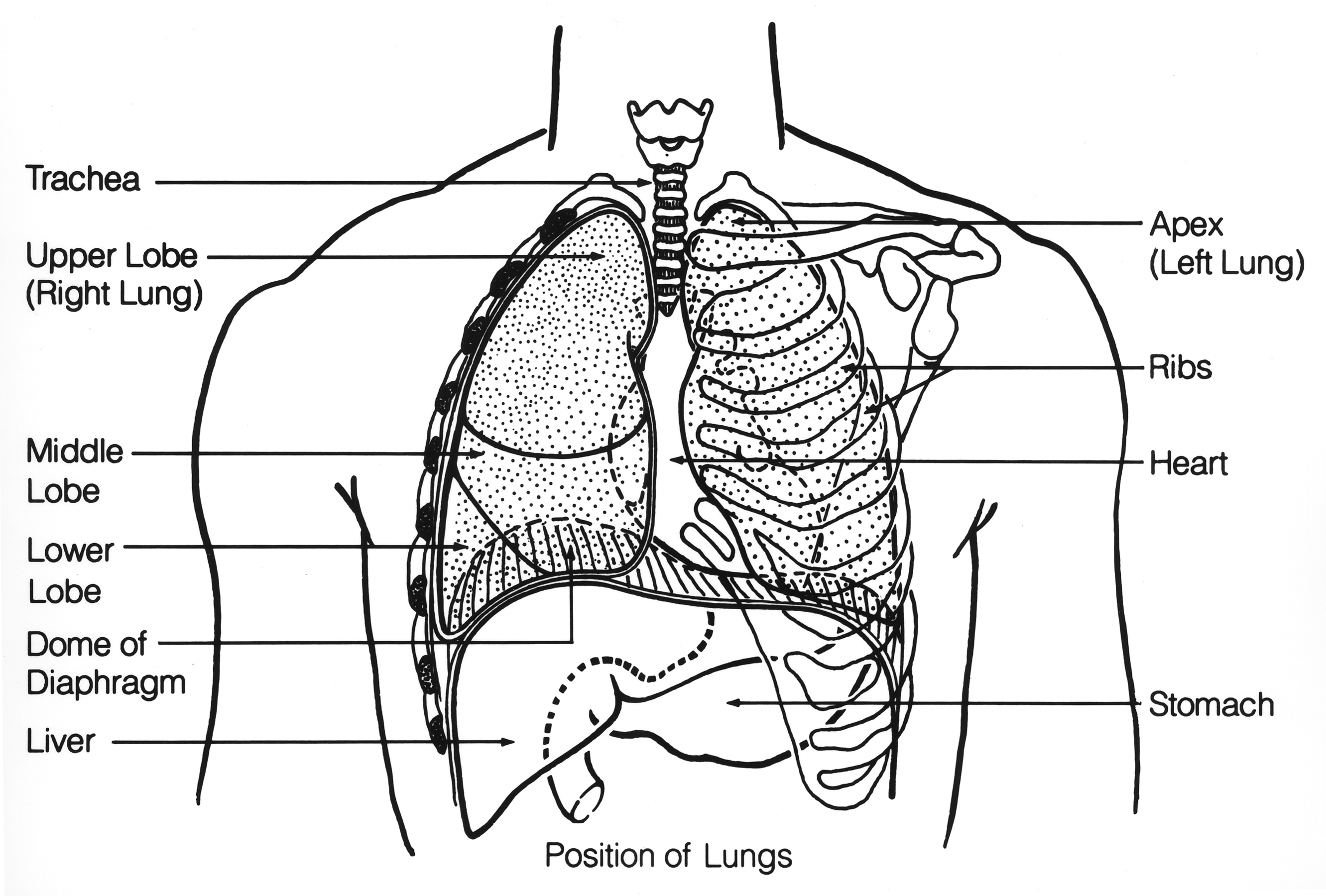 File Respiratory System Chest