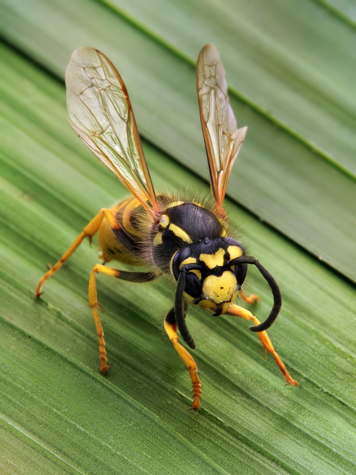 hornet anatomy diagram nema 14 30 wiring wasp wikipedia a social vespula germanica