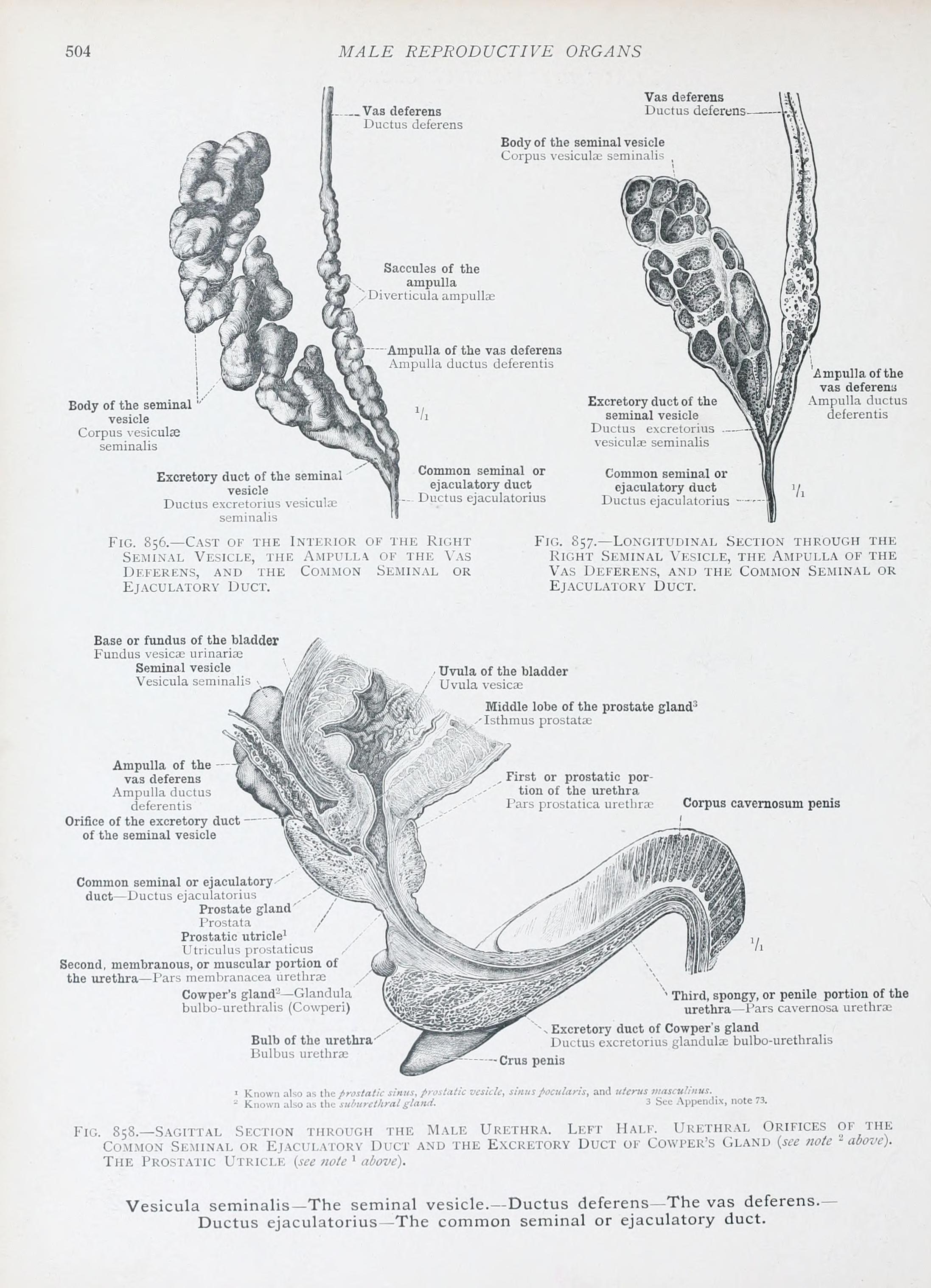 Vesicula Seminalis : vesicula, seminalis, File:An, Atlas, Human, Anatomy, Students, Physicians, (1903), (14783108092).jpg, Wikimedia, Commons