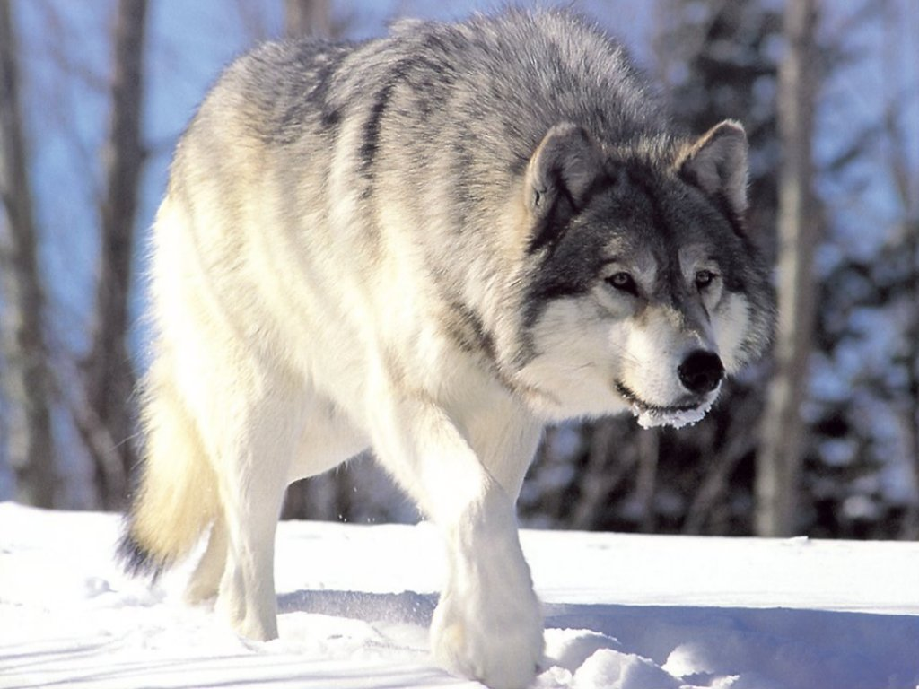 Canis lupus 265b Iphone 4s Animated Wallpaper