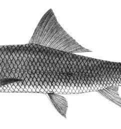 cirrhinus mrigala [ 2091 x 955 Pixel ]